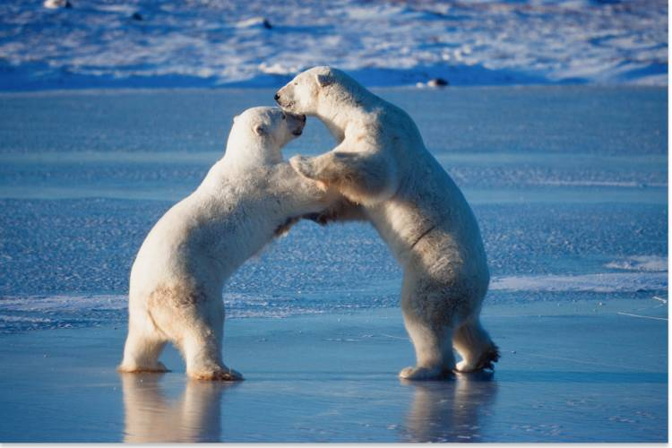 Two polar bears playing on their hind legs