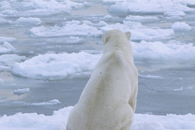 Polar bear looking out on the ice image