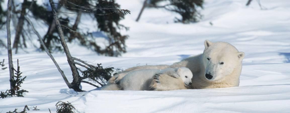 Mama polar bear snuggling her cub in the snow
