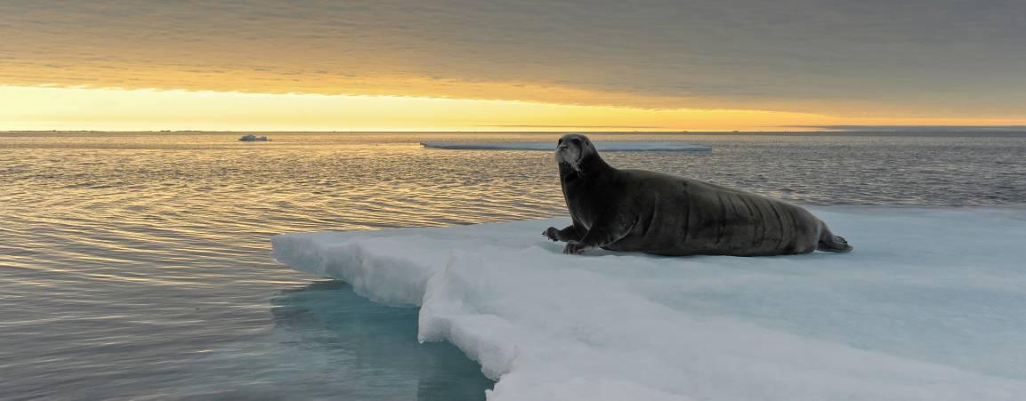 Bearded seal on sea ice