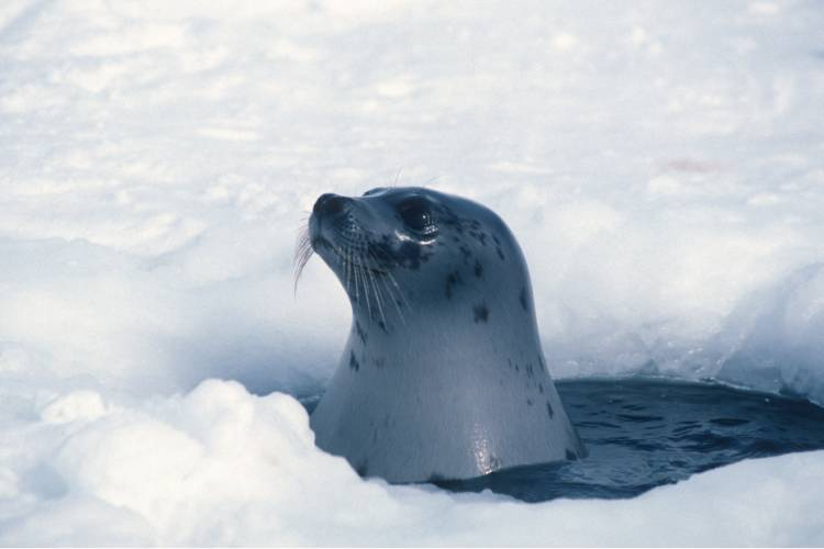 An arctic seal poking its head out from under the water