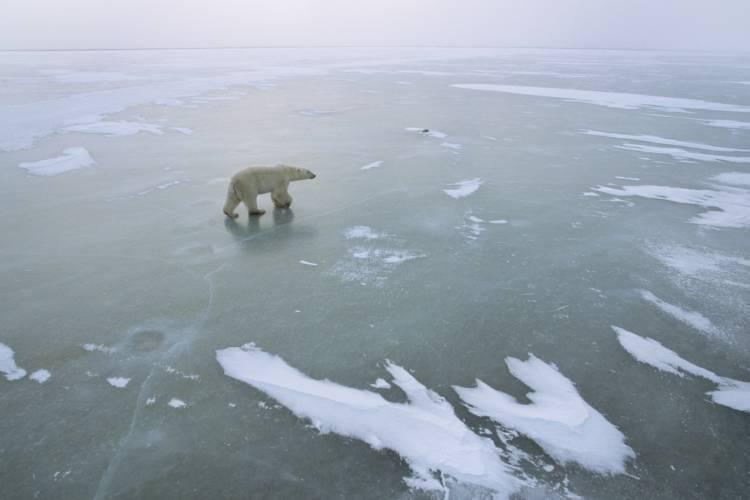Polar bear walking across frozen ice