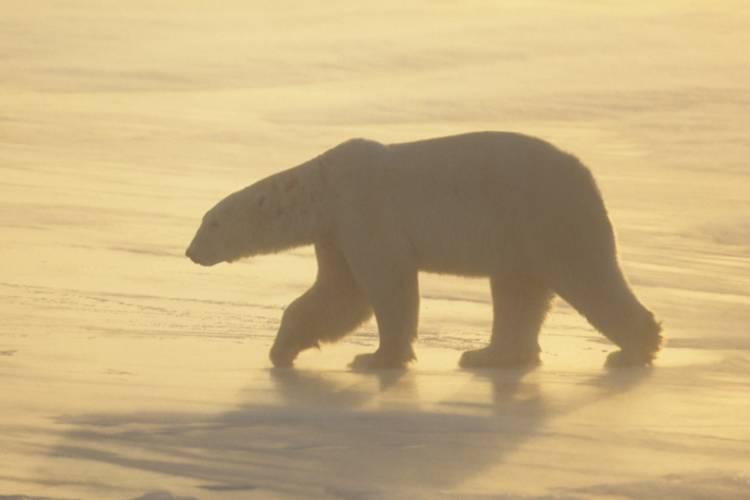 Polar bear traversing on the Arctic tundra