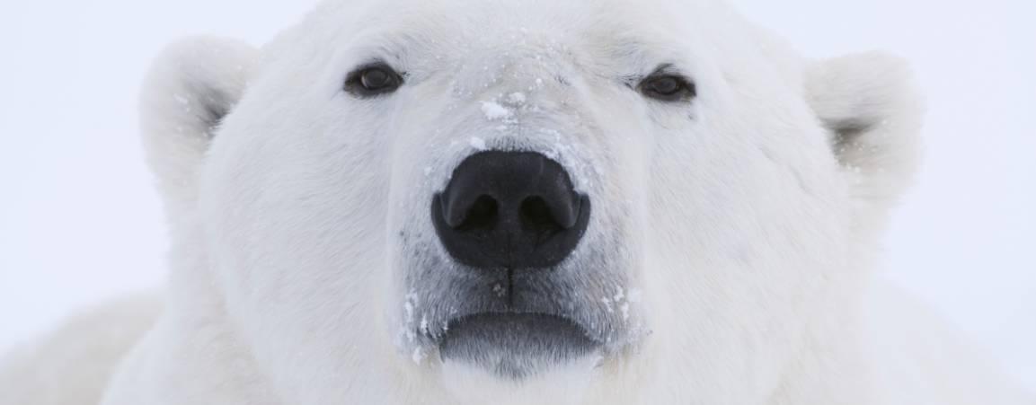 Close-up face of polar bear image