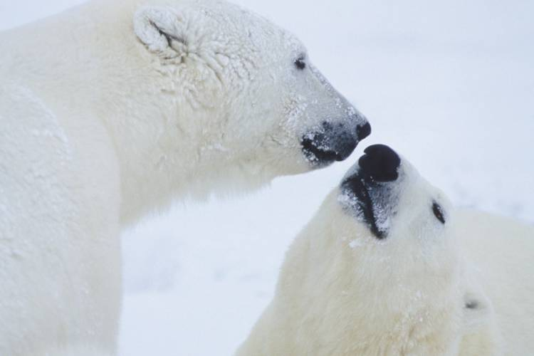 Two polar bears about to touch their faces together image