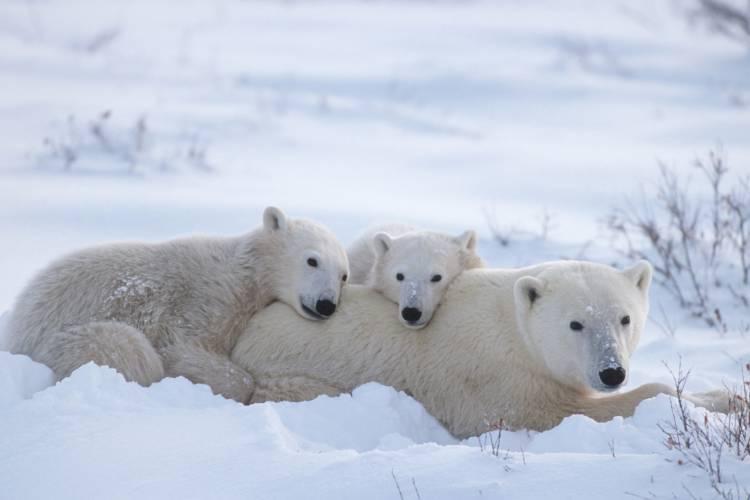 Polar bear moms and cubs