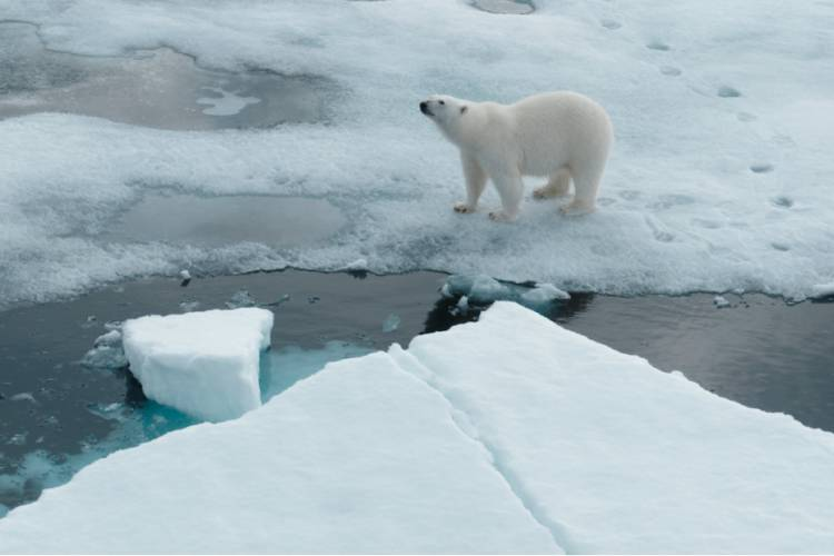 Overhead view of polar bear standing on the edge of the sea ice