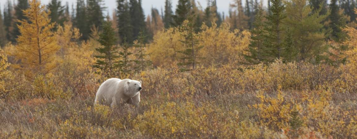 Polar bear traveling through a forest during the fall