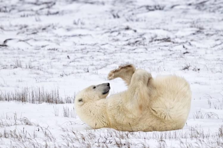 Polar bear laying on back