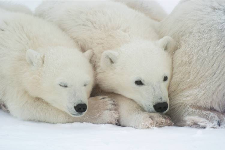 Two polar bear cubs nestled into their mother image