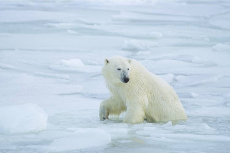 Polar bear coming out of the ice image