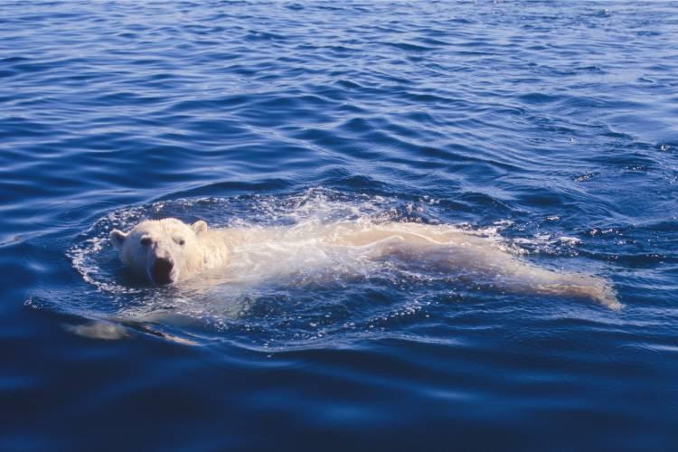 A polar bear swimming in the ocean