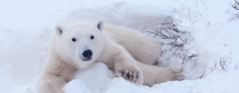 Close-up of polar bear image