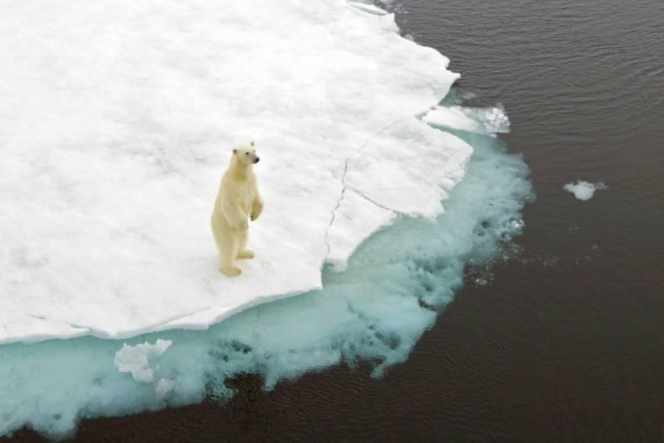 Polar bear on hind legs standing on the edge of the sea ice