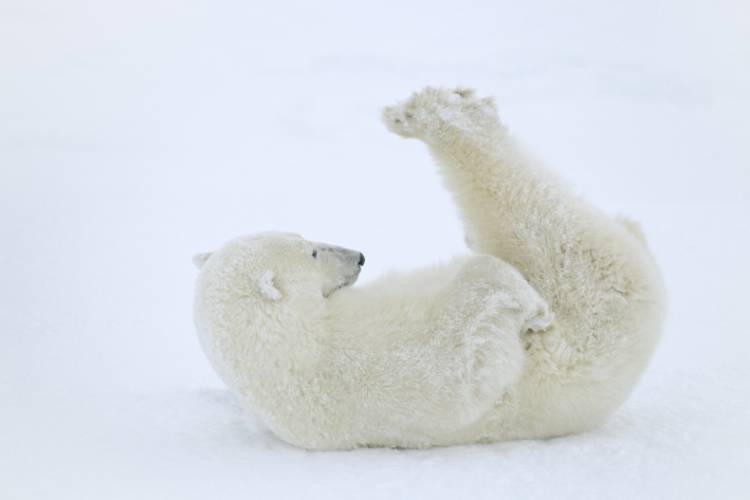 Polar bear laying on its back on the ice image