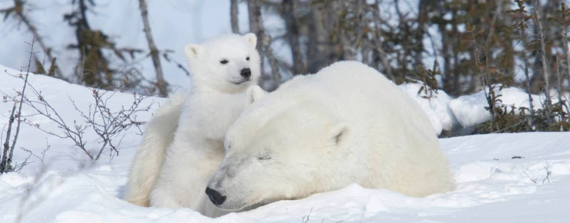 A mother bear laying in the snow with her cub leaning against her