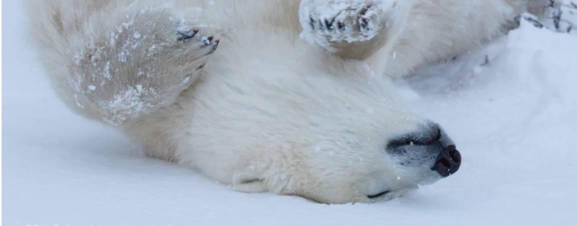 Polar bear rolling in snow on it's back