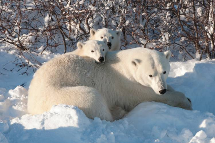Mother bear and her two cubs image