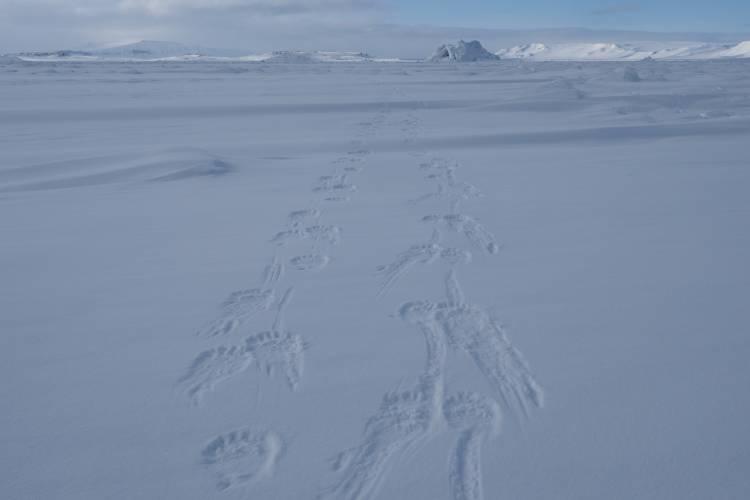 Polar bear tracks in the snow