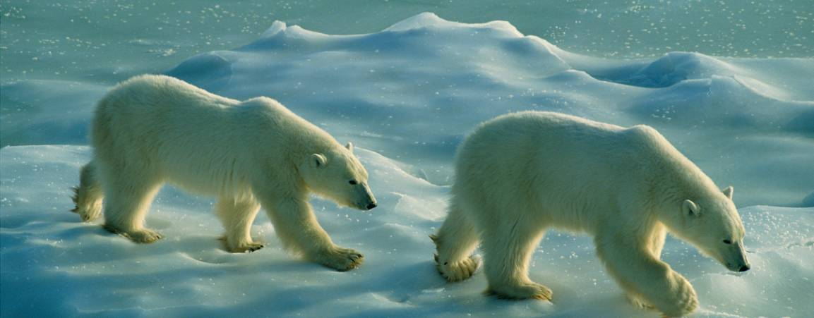 Two polar bears on sea ice