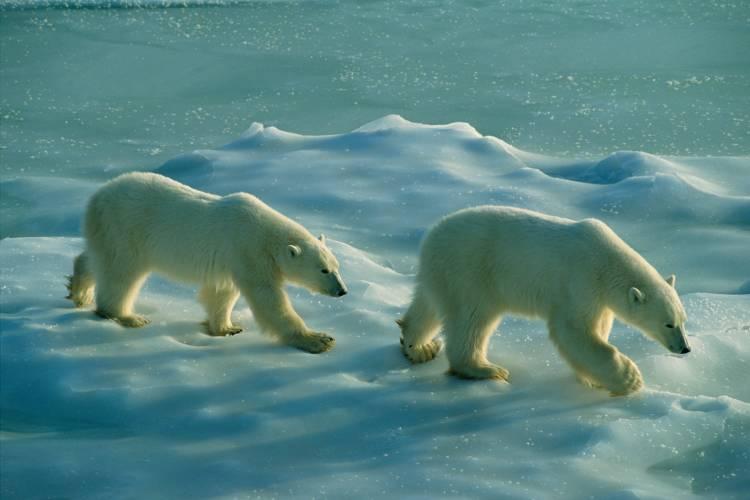 Two bears on sea ice