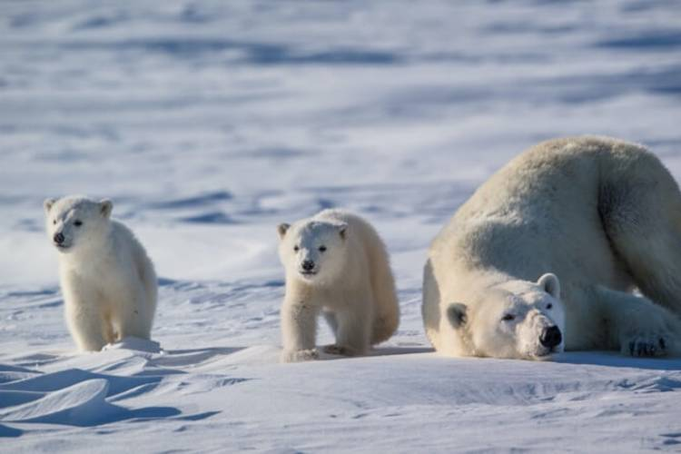 A polar bear mom rests while her two cubs play