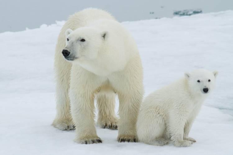An adult polar bear and polar bear cub sitting back to back on the arctic sea ice