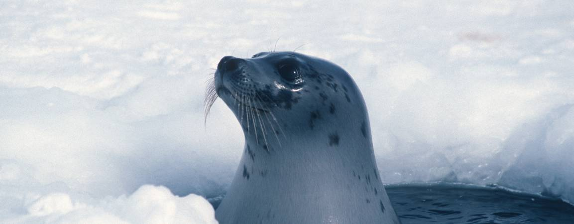 Seal peeking its head out of a hole in the sea ice