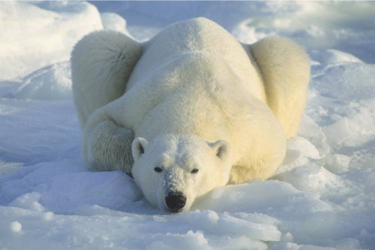 Polar bear laying down in the snow image