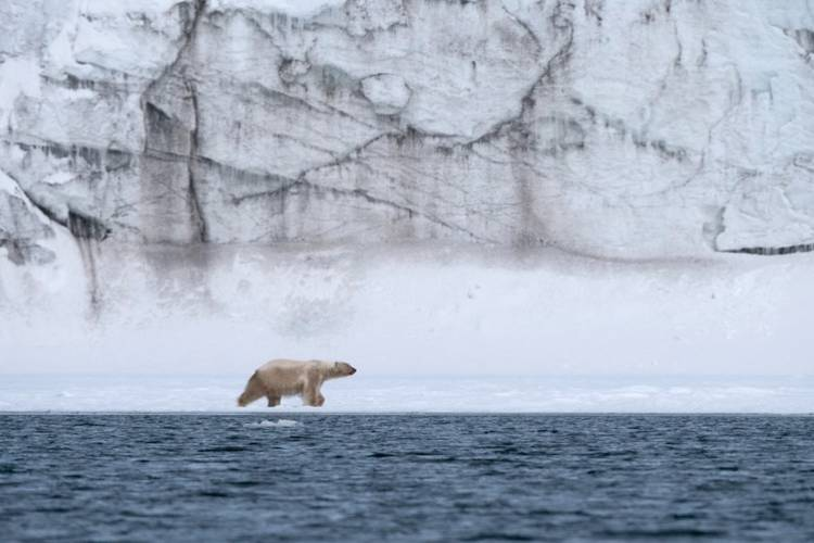 A polar bear walking on a band of sea ice with a towering glacier in the background.