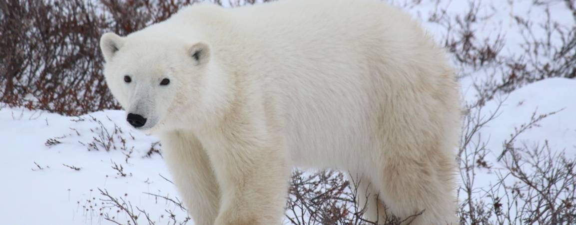 A full grown polar bear standing on all four legs looking at the camera