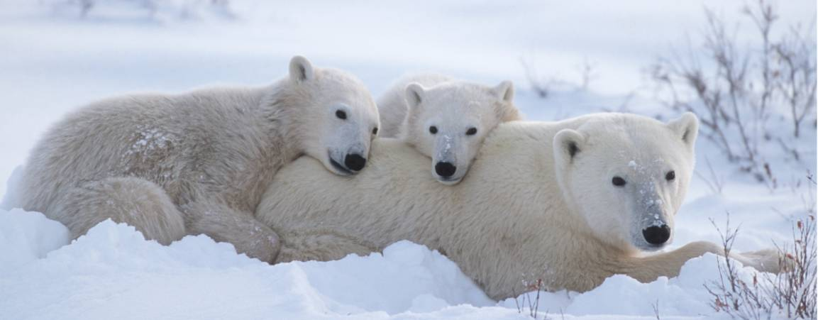A mother bear and her two cubs resting their heads on her back