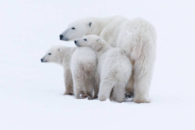 A mother bear and her two cubs cuddled up closely to one another