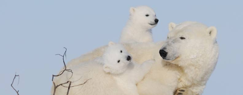 A mother bear laying down with her two cubs on either side of her