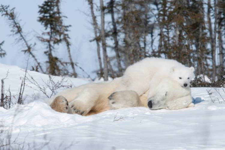 A mother bear laying down with a cub on top of her