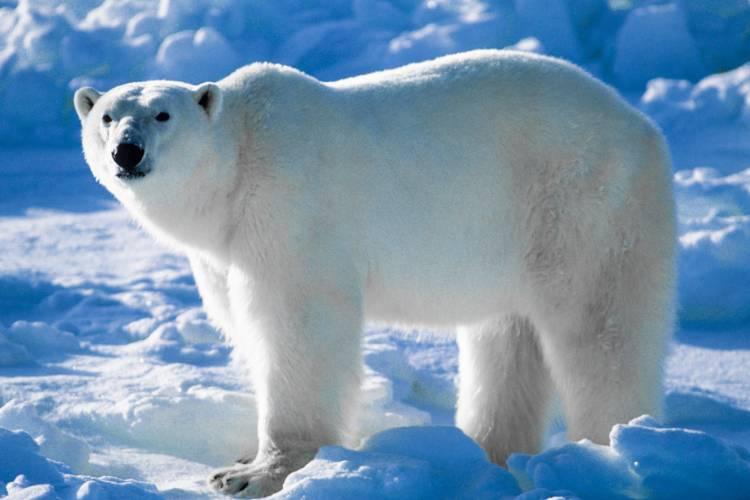 A polar bear traveling across the sea ice