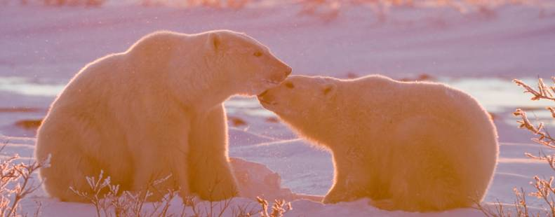 Two bears nustling each other