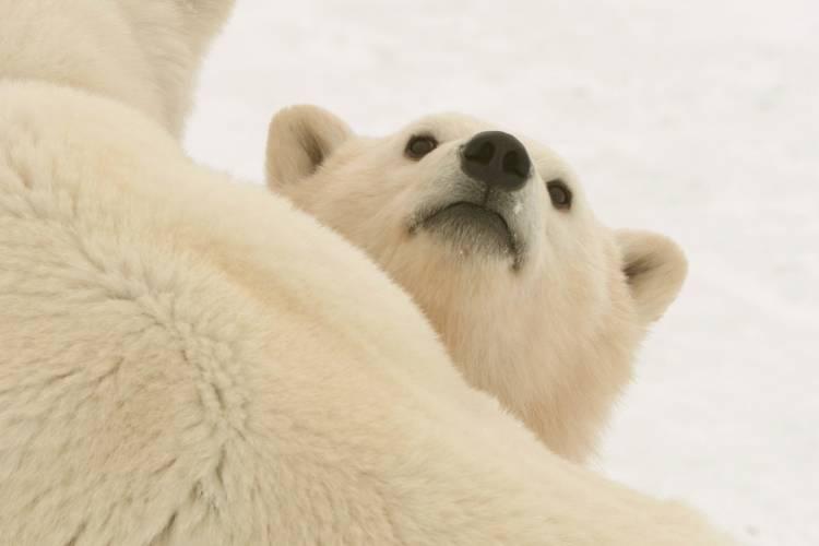 Polar bear laying on its back looking at the camera