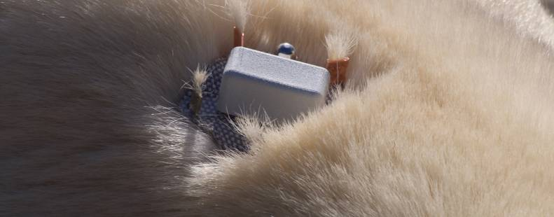 'Burr On Fur' tracking polar bears