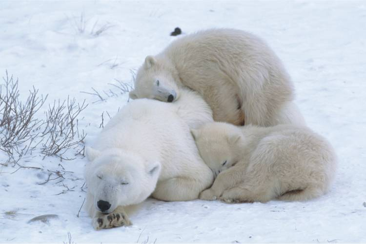 Mother bear and her two cubs nestled into each other image