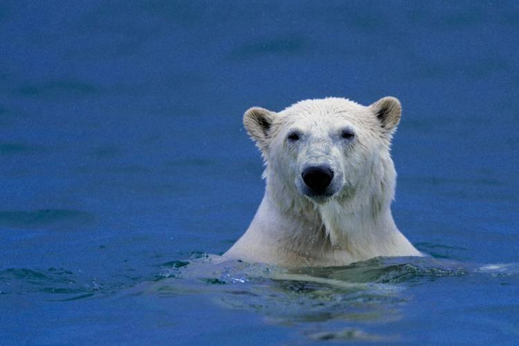 A polar bear peeking its head out of the water