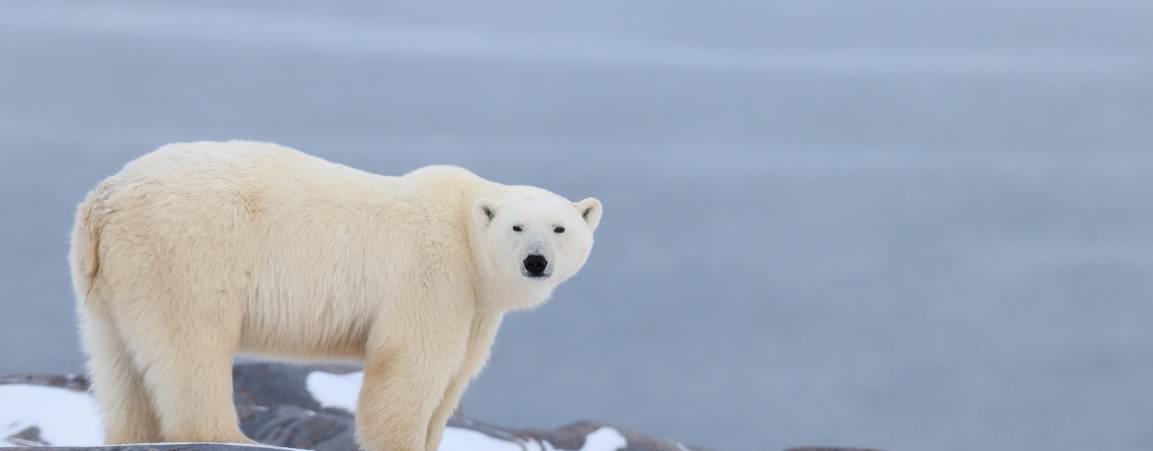 A polar bear stands on the rocky shoreline of Hudson Bay.