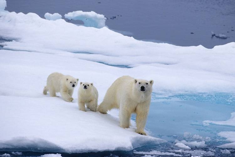 A mother polar bear with two cubs