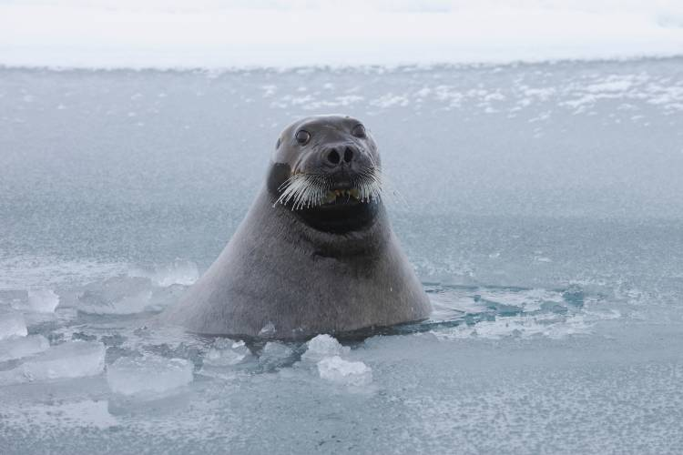 Seal popping their head up from the ice