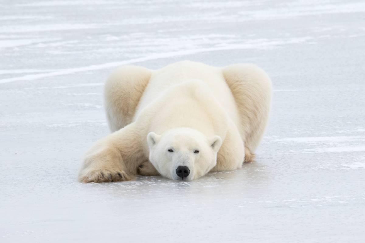 A polar bear naps on a frozen pond.