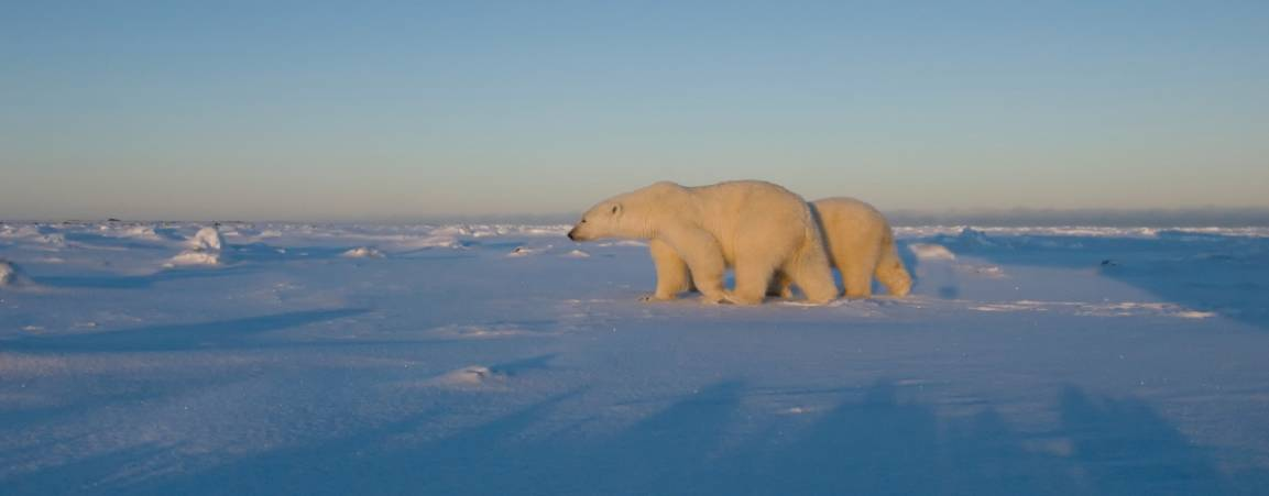 Mama bear and her cub walking along the ice