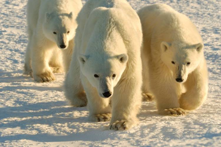 Three polar bears walking towards the camera