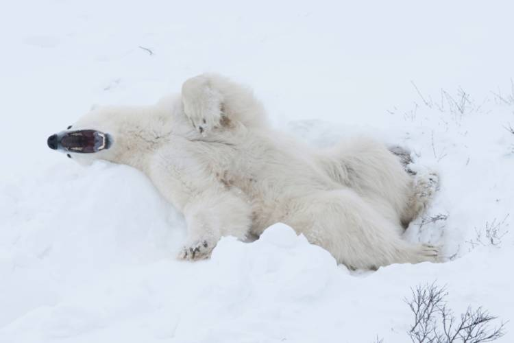 A polar bear playing in the snow with its mouth open
