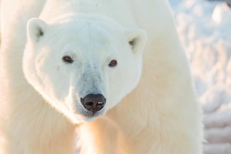 Close-up of a large male polar bear