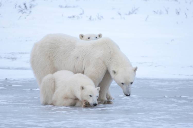 Mother bear with two cubs nestled on either side of her.